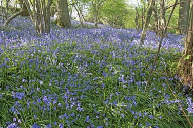 Bluebells in the woodland near Kingscote Station - Sarah Hill - 23 April 2011